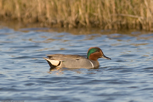 Green-winged Teal by you.