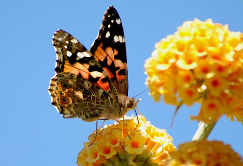 painted lady3