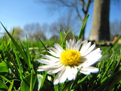 Daisy (Jeroen Krah) Tags: netherlands spring explore daisy nl lente zwanenwater madelief haarlemmermeer alberdien