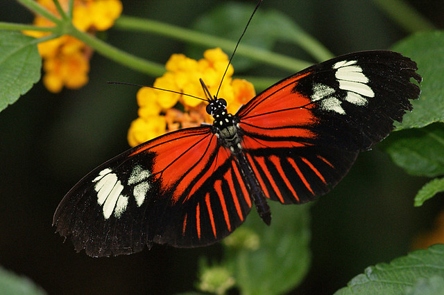 "Doris Longwing in ""Jardin des Papillons"""