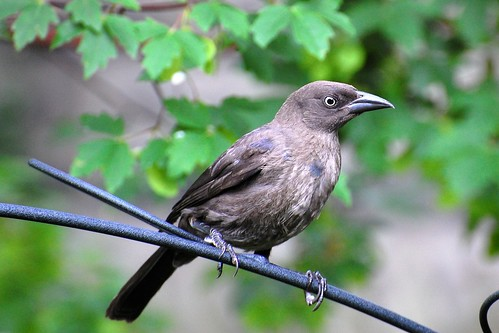 common grackle juvenile. Common Grackle, juvenile