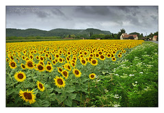 France, Sunflowers Missing the Sun at Beynac (Vincent_AF) Tags: vincent vincentvanderpas archetypefotografie france beynac sunflower sunflowers flower field cloudy clouds grey beynacetcazenac nikonflickraward thebestofcengizsqueezeme2groups beautiful flickrphotography flickrimage flickrphoto