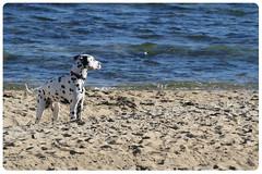beach dogs australia melbourne victoria curious brightonbeach curiosity dalmatians redcollar