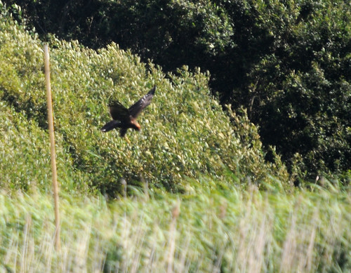 marsh harrier3