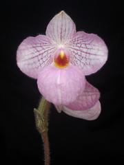 Paph. Magic Lantern (dwittkower) Tags: orchid flower flora orchids orchidaceae paph hybrid primary slipper orquideas ladyslipper paphiopedilum orchidée ladysslipper slipperorchid orqudea