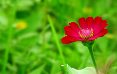 Hope (IT # 63) (Gilbert Rondilla) Tags: camera pink flowers red plants house plant flower color macro green nature up horizontal closeup photoshop garden point photography hope photo nikon shoot close bokeh philippines explore retreat gilbert filipino zinnia digicam tagaytay notmycamera own pinoy s10 borrowedcamera imago oss pns zinniaelegans novitiate tagaytaycity bokehlicious rondilla notmyowncamera imagoismthursday imagoism gilbertrondilla gilbertrondillaphotography luisianian ikawaypinoy sistersoblatesoftheholyspirit sistersoblates