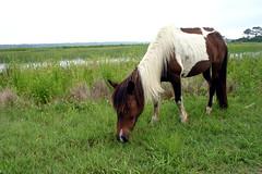 Pony, Assateague Island, Virginia