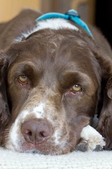 You'd think this dog never gets any love (SF knitter) Tags: portrait dog pet brown white silly jackie spaniel liver sadeyes englishspringerspaniel dogportrait expressiveface