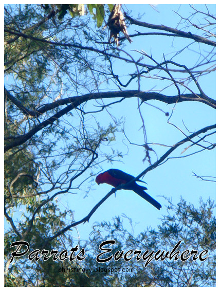 Crows Nest National Park: Parrot