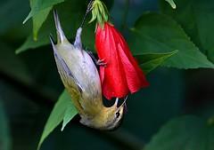 Tennesee-Warbler-3_RS (Robert Strickland) Tags: birds move birdsnw09