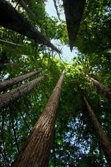 """""""Light at the top"""" (fantommst) Tags: trees newzealand rotorua walk lookingup springs nz hero winner redwood redwoods hamurana flickrchallengegroup thechallengefactory"""