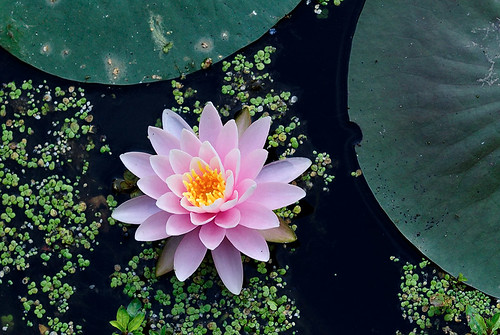 Water lily, in Forest Park, Saint Louis, Missouri, USA