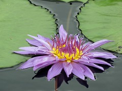 Longwood (PHOTOPHANATIC1) Tags: waterlily longwood