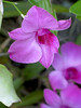 (Maria*_*) Tags: orchid orquidea dendrobiumphalaenopsis denphale
