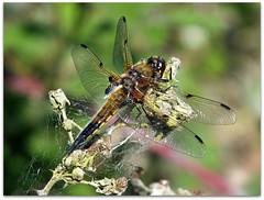 Chaser on old brambles! (macfudge1UK) Tags: uk england bug insect spring europe dragonfly britain gb damselfly oxfordshire oxon odonata hs20 2011 fourspottedchaser libellulaquadrimaculata stantonharcourt ©allrightsreserved hs20exr fujifilmfinepixhs20exr fujihs20exr fujifilmhs20