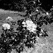 branche de rosier