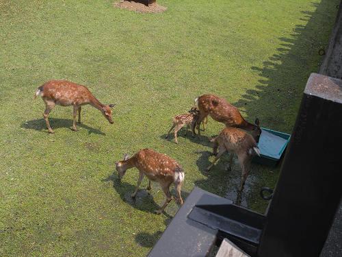 母子鹿の特別公開@鹿苑角きり場-10