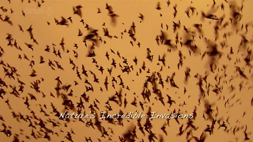 Swarm, Nature's Incredible Invasions   Part 2  (11th January 2009) [HDTV 720p (x264)] preview 0