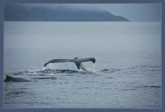 A tale about a whale's tail (fenicio84) Tags: cola tail whale carlosiii ballena magellan magallanes fenicio84