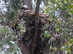 Eagle Incubating January 14 2009