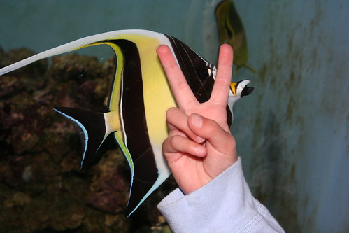 Moorish Idol - Rabbit Ears