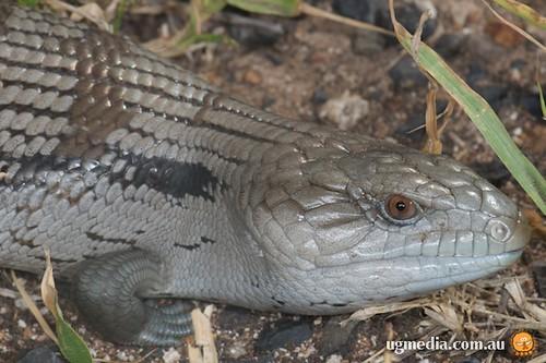 Eastern blue-tongued skink (Tiliqua scincoides scincoides)