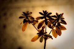 Nature's Bouquet (DSLR_MANIA) Tags: street city autumn winter plants flower macro nature up leaves eos gold hotel leaf spring flora close korea seoul southkorea makro cathycolors canonef100mmf28usm ef100mmf28usm eos1dmark3 canon1dmark3 dslrmania canon1deos1d