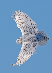 Snowy owl in flight - Harfang des neiges en vol (RichardDumoulin) Tags: snowy owl vosplusbellesphotos