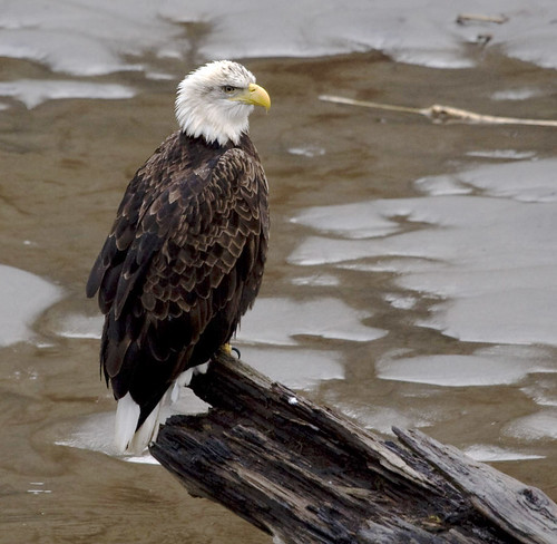Bald eagle, Nooksack river