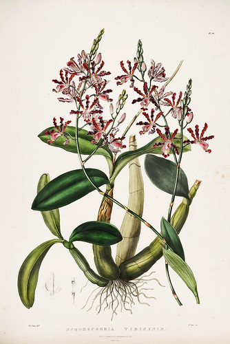 009-Orquideas de Mexico y Guatemala 9