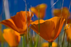 California Poppies II (jdmuth) Tags: californiapoppys