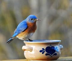 Yummy! (Ruthie Kansas) Tags: blue male bird backyard bluebird worms picturesque birdwatcher naturesfinest natureselegantshots slbfeeding thewonderfulworldofbirds flickrcinated
