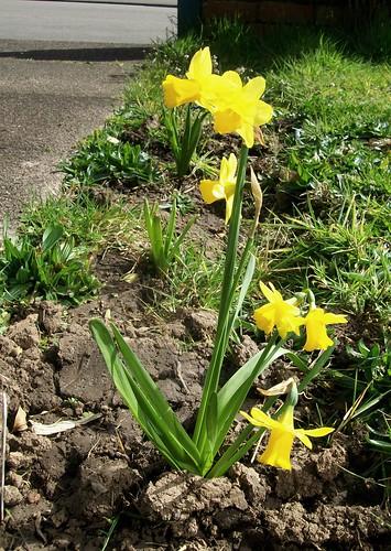 daffodils001