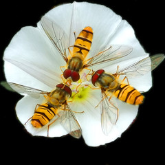 meeting of The Three ( Peter & Ute Grahlmann ) Tags: orange white flower macro art nature insect square golden soe hoverfly outpost naturesfinest blueribbonwinner supershot 50faves bej abigfave impressedbeauty theunforgettablepictures platinumheartaward goldstaraward rubyphotographer thechallengefactory