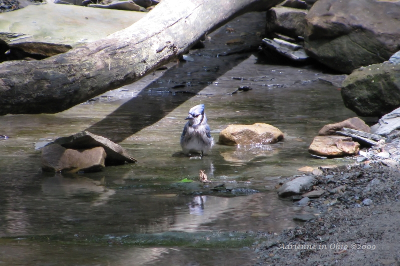 bathing blue jay photo by Adrienne in OHio