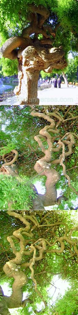 Emirgan Havuzu Karşısındaki Ağaç -Aklı Fikri Karışmış Arap Saçına Dönmüş Garibim :-)