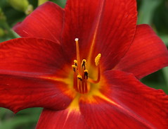 Red Lily (Read2me) Tags: red flower macro yellow cye gamewinner friendlychallenges achallengeforyouwinner thumbsupwinner thechallengefactory yourock1stplace superherochallengewinner storybookwinner storybookchallengegroupotr pregamewinner