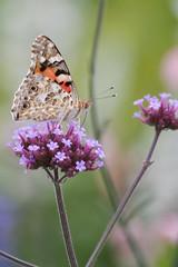 Versailles (MissDogo) Tags: paris macro fleur versailles insectes bourdon proxyphoto hym hyménoptères hymnoptres