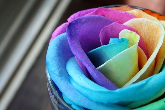 Rosa Arco Iris rainbow rose