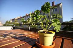 geranium (Jrme...) Tags: summer plant flower canon germany eos iso100 sommer balcony balkon pflanze sigma geranium karlsruhe gaston cranesbill f35 10mm geranie geranien sigma1020 50d eos50d sigma1020mmf35exdchsm sigma102035