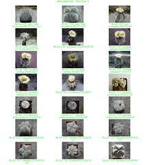 Bild 007 (sambucus2009) Tags: astrophytum kikko asterias superkabuto krausei