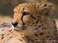 Cheetah (Marc_Scott-Parkin) Tags: africa animal mammal cheetah potofgold flickrbigcats