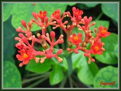 Jatropha podagrica (Gout Plant, Buddha Belly Plant, Bottleplant Shrub), shot at Rimba Ilmu Botanic Garden, KL