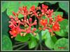 Jatropha podagrica (Gout Plant/Stick, Buddha Belly Plant, Bottleplant Shrub, Purging Nut, Guatemala Rhubarb)