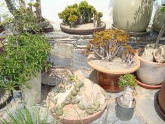 VIVERO TONI BRUGGER NÍJAR, ALMERÍA (TETRACLINIS HISPANIA) Tags: cactus españa toni almería crassula suculentas vivero brugger níjar