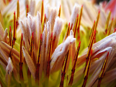 (ion-bogdan dumitrescu) Tags: flower macro strange large ixus 40 pollen oldcamera bitzi ibdp img6729mod findgetty ibdpro wwwibdpro ionbogdandumitrescuphotography