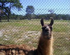 36 27spt09 161 lama Six Flags Wild Safari Jackson New Jersey (lotos_leo) Tags: summer newjersey jackson lama sixflags greatadventure  wildsafari  countryroad537