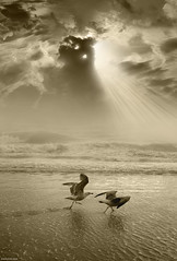 Quarreling Again (Ben Heine) Tags: ocean light wallpaper seagulls storm monochrome birds silhouette composite sepia clouds print poster coast fly seaside fight wings track waves nikond70 lumire trace c