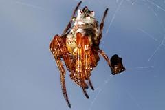 Aranha (carlos asanuma) Tags: macro spider natureza flor bugs jardimbotanico joaninha insetos aranha macrophotography gafanhoto extrememacro besouro macrofotografia canon7d canonmpe65mmmacro canon100mmf28lmacroisusm flashcanonmt24ex carlosasanuma