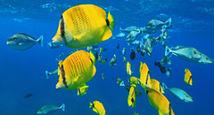 fish ! (bluewavechris) Tags: ocean blue school sea fish nature water animal yellow swim butterfly hawaii marine underwater snorkel wildlife dive maui creature unicorn